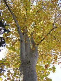 PLATANE COMMUN - Platanus Acerifolia - Europe - Platanacées